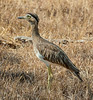 Double-striped Thick-knee - Burhinus bistriatus (Burhinidae) 110m-2246 by Perk's images