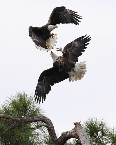 gulf florida eagle flight raptor tierra verde nature wildlife
