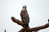 Martial Eagle (Polemaetus bellicosus) by Sergey Pisarevskiy