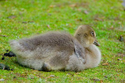 Lone gosling, resting