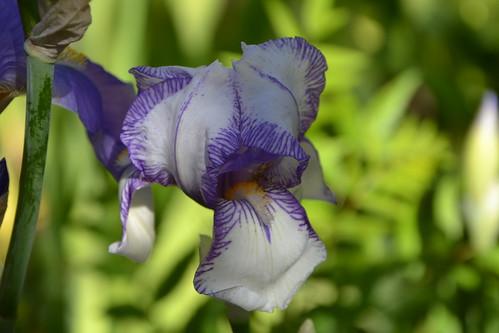 Iris swertii ou 'Swerti' - coll. 1612 8747363675_600d1ff52e