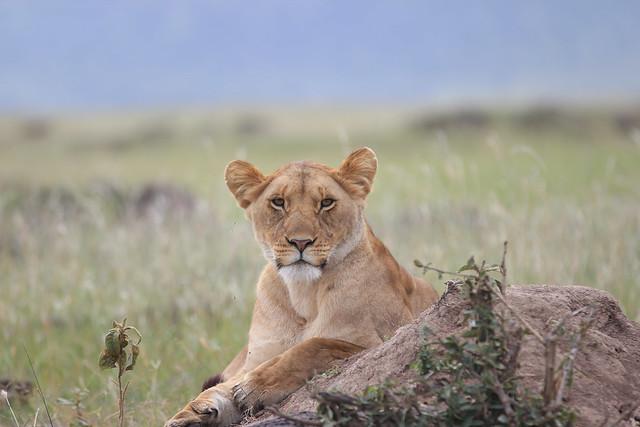 Lioness from the Marsh Pride - Maasai Mara, Kenya, 2012