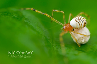Comb-Footed Spider (Theridion sp.) - DSC_8820