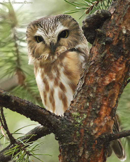IMG_9982 Petite Nyctale / Northern Saw-whet Owl