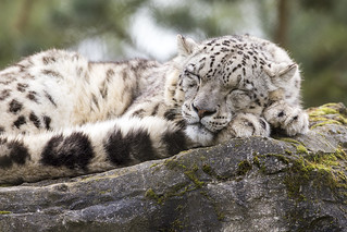 Snow Leopard | by Steven Vacher