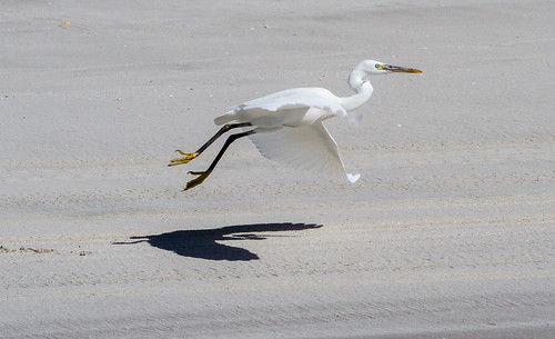 Western Reef Heron at Taqah IMG_8873 | by grebberg
