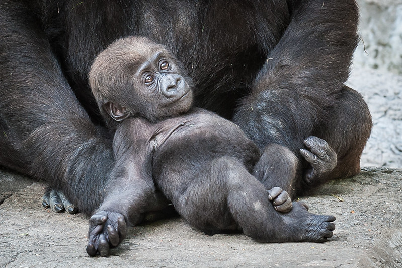 Baby Silverback Gorilla - sitting in front of mom