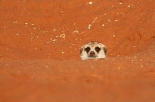 Meercat, Namibia | by Guy Colborne
