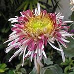 菊花-銀鼠 Chrysanthemum morifolium 'Silver Mouse'  [香港圓玄學院 Hong Kong Yuen Yuen Institute]
