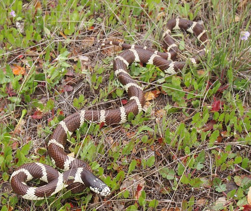 California Kingsnake, Lampropeltis getula californiae | by J. Maughn
