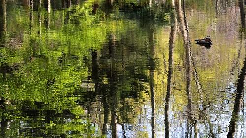 reflection japan sapporo nikon hokkaido 北海道 mandarinduck 円山公園 札幌市 オシドリ d7100 nikond7100 sigma1835mmf18art