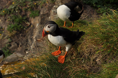 Puffins at the Shetland Is | by lellobot