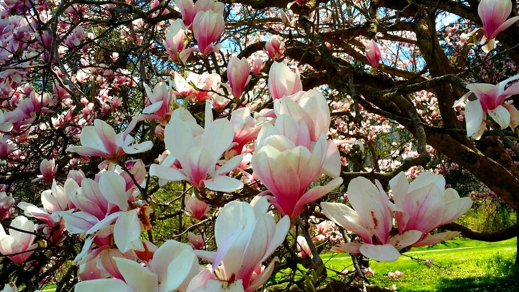 Saucer Magnolia Tree In Full Bloom At Springbank Park Flickr