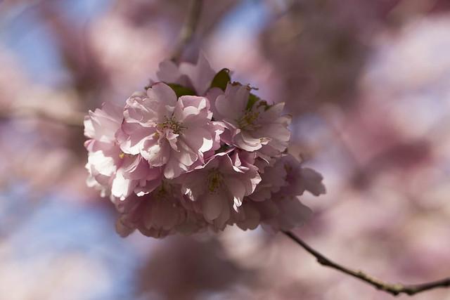 Japanske kirsebærtræblomster
