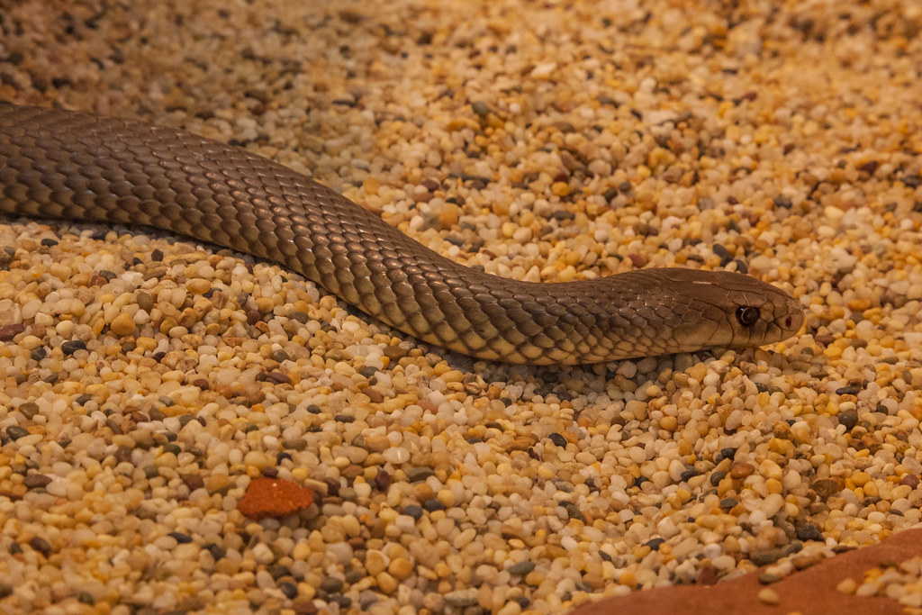 Snake   Alice Springs Reptile Centre is home to the