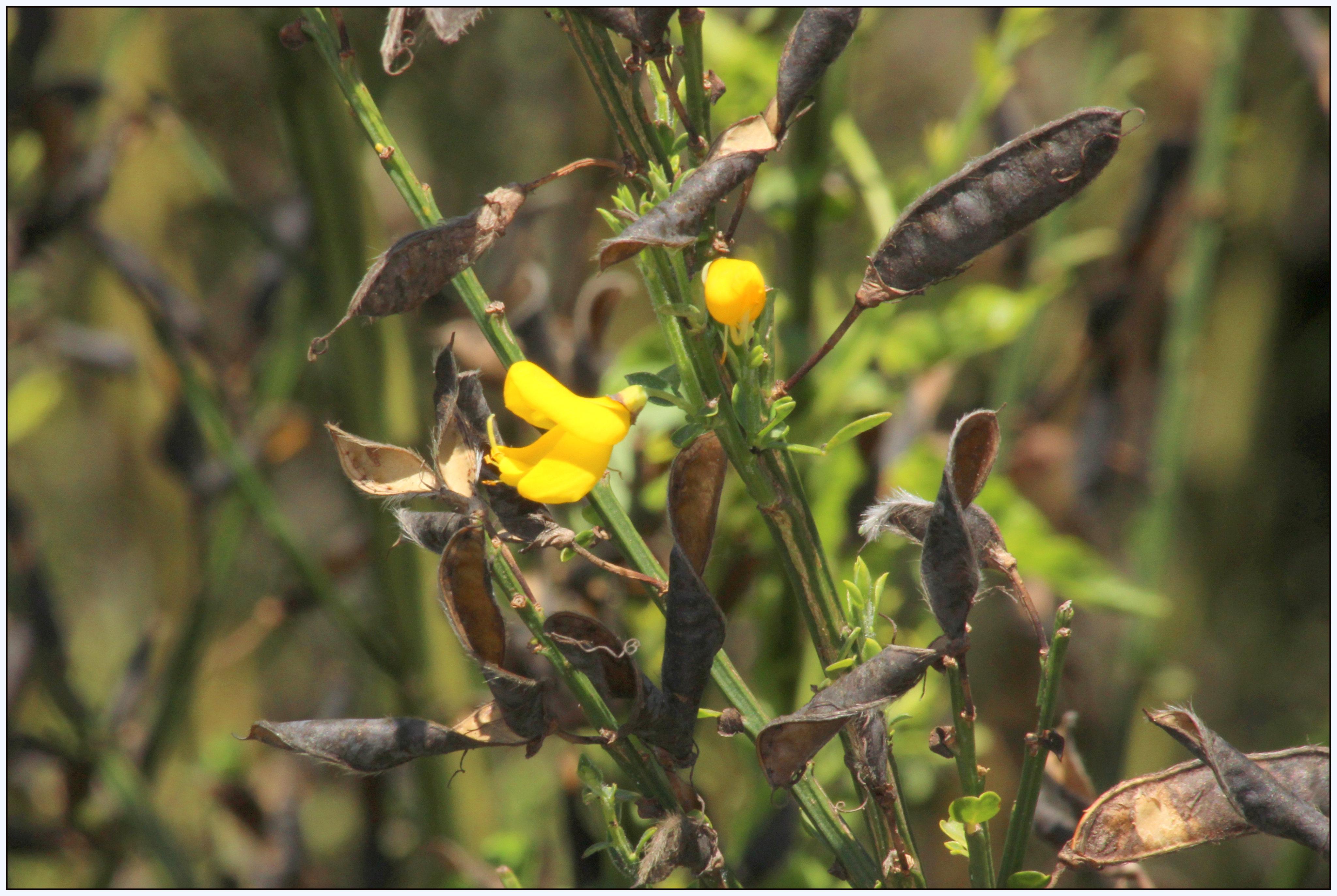 cytisus scoparius o escoba negra