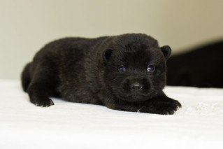 Nami-Litter1-Day10-Puppy3-Male-4 | by brada1878