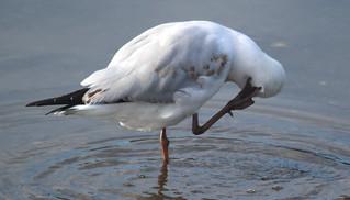 seagulls (4) | by bertknot