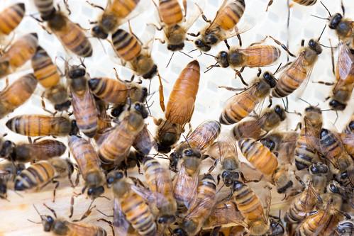 Queen Bee | by bellemarematt
