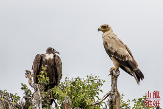 Tawny Eagle with Hooded Vulture | by DragonSpeed
