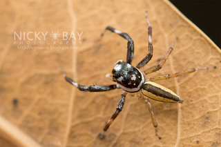 Jumping Spider (Phintella sp.) - DSC_6011