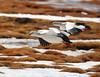 Piuquén - Andean Goose (Chloephaga melanoptera) by Héctor Bottai