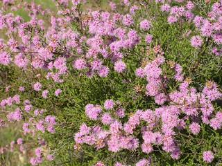 Kunzea  parvifolia Violet Kunzea 06.11.05 DSCN6144