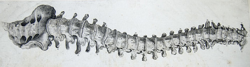 Front view of vertebral column from Andrew Bell's Anatomia Britannica (1798?) | by liverpoolhls