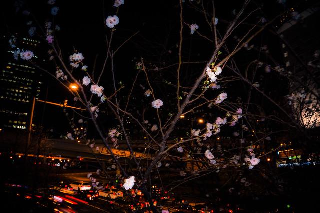 Cherry Blossoms in Winter  -  Winter Sakura