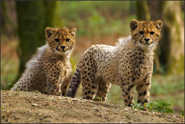 Half year old cheetah cubs