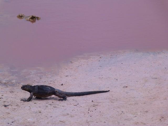 Iguana marina en isla Isabela