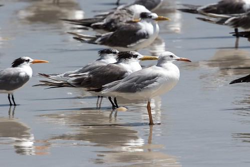 Slender-billed Gull, Swift Tern and Lesser Crested Tern at Al Mughsail S24A7979 | by grebberg