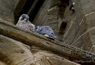 Juvenile Peregrines (Falco peregrinus)