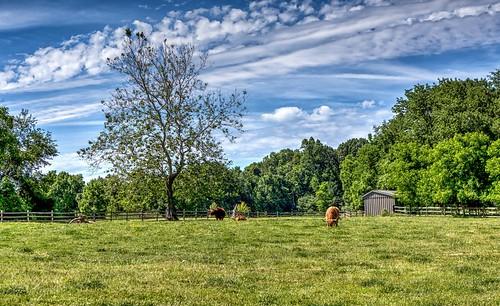 cattle highlands don3rdse 3rdsiblingphotography canon canon5d 5d eos june 2016 pa pennsylvania mechanicsville carouselfarmlavender travel trip farm plants agriculture art 1800s lavender