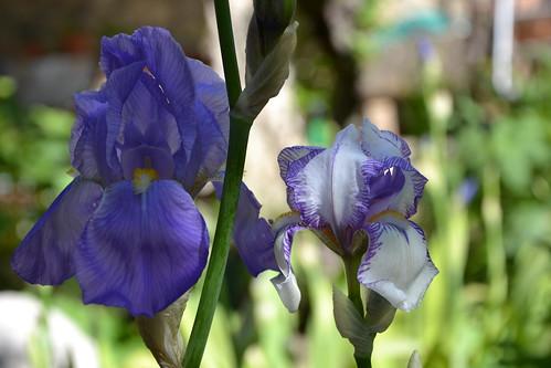 Iris swertii ou 'Swerti' - coll. 1612 8748498892_62d4beb2e5