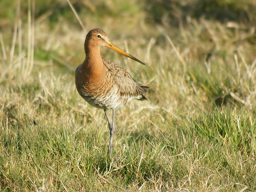 Limosa limosa limosa | by Hans Hillewaert