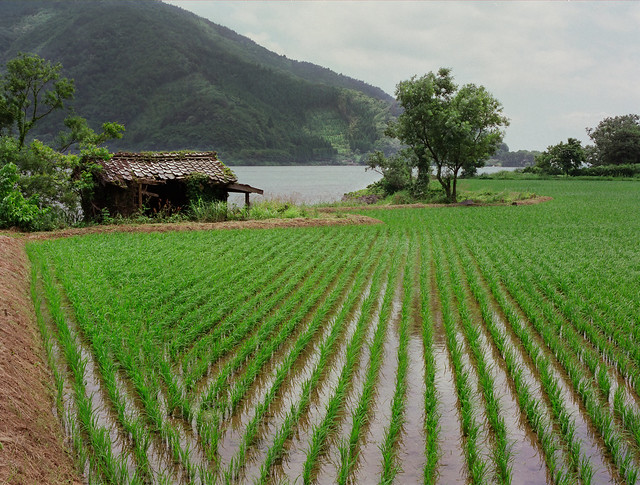 Rice field Lake Biwa Shiga Japan