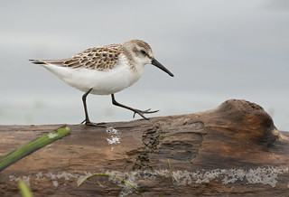 Western sandpiper | by Through The Big Lens