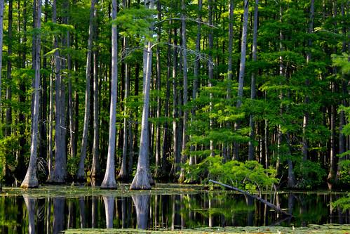 trees green reflections nc pond northcarolina cypress rhodes treescape rhodespond