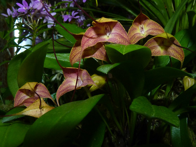 photographed at the 2014 pacific orchid exposition, Masdevallia triangularis species orchid