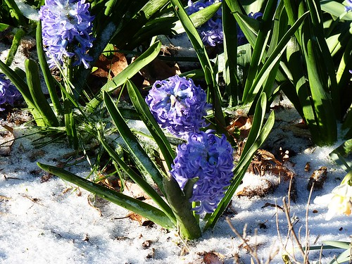 Hyacinth in the Snow | by GammaBlog