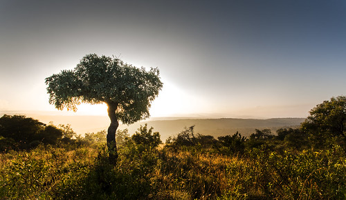 sunrise southafrica cabbagetree mpumalanga escarpment lydenburg cussoniaspicata kuduranch kuduprivatenaturereserve kudugameranch