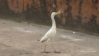 Cattle Egret (Bubulcus ibis) in Port Antonio