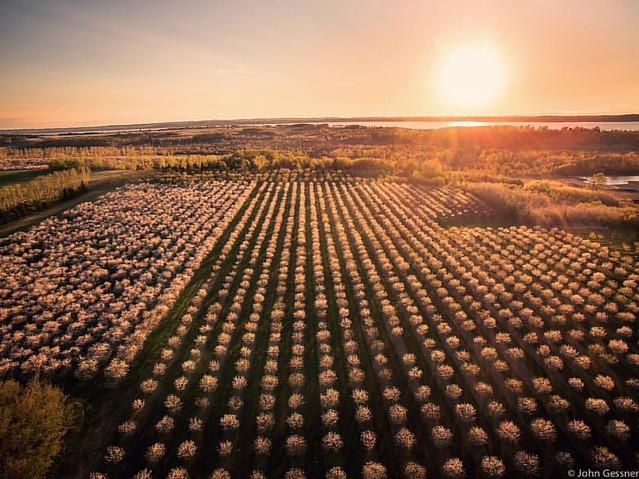 Enjoying cherries? Thank a farmer! #orchard #cherries #sunset #puremichigan #summer #dji #drone #dronestagram #aerial #fromaboveseebelow