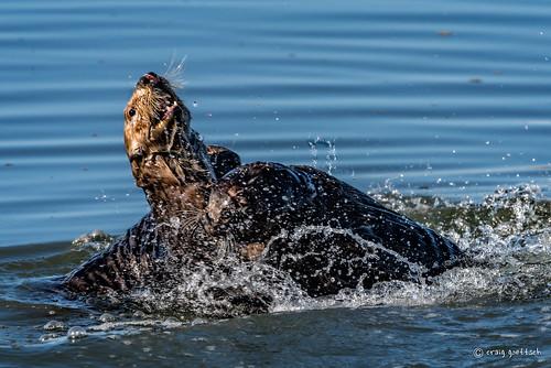 nature water mammal fight nikon wildlife mother d750 pup seaotter mosslanding 14extender montereypeninsula 850mm