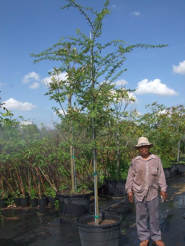 Acacia Farnesiana (Sweet Acacia)