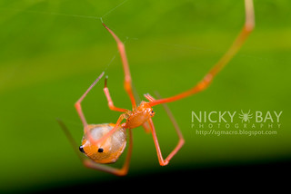 Comb-Footed Spider (Propostira sp.) - DSC_3433
