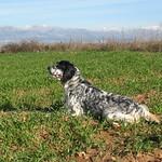 EDY DI VALTRESINARO - In ferma su starne ai bordi di campo di grano.