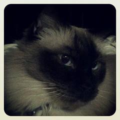 #taco #ragdoll #ragdollcat #ragdollsofinstagram #cat #cats #catsofinstagram