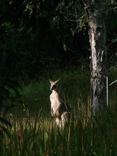 kangaroo hastings wauchope byabarra booyong